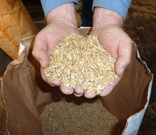 Highclere Castle Horse Feeds is a major producer of superior grade oats.