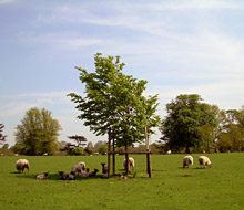 Over 2,000 ewes are run in Highclere Park, next to Highclere Castle